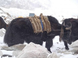yaks 300x225 Snowmen and Weather Reports